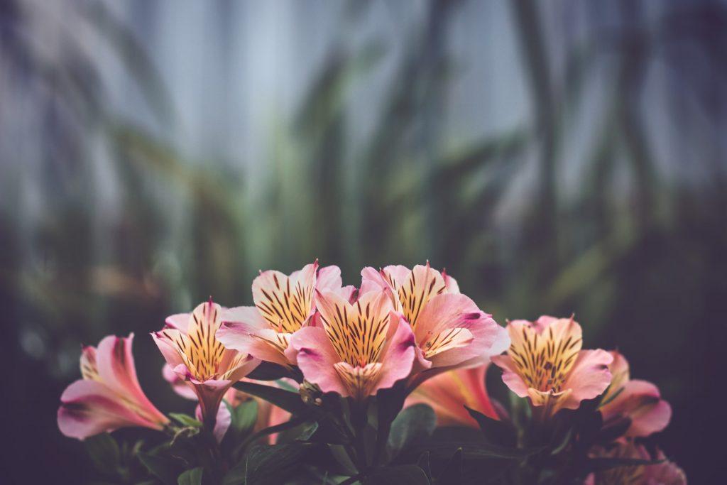 2.Alstroemeria Flowers