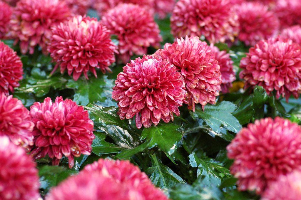 5.Chrysanthemum flowers